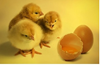 Picture of hen Kids